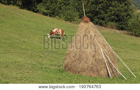 Cow grazing in a mountainous pasture with a hayrick.