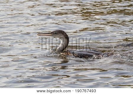 Cormorant, The Fisher Bird Of The Sea