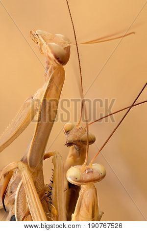 A close-up portrait of two males mantis and one female