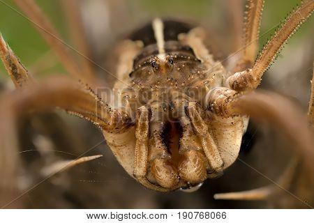A closeup of a beautiful harvestman Opilione