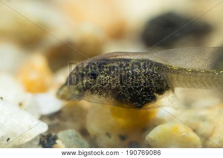 Tiny Tadpole Of A Toad