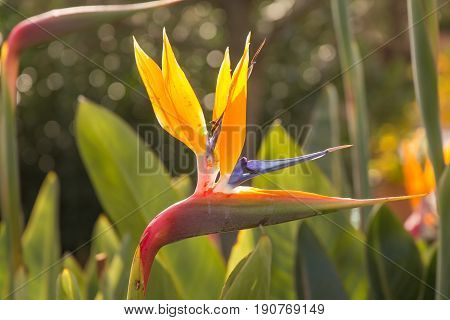 Strelitzia - A Beautiful Coloured Flower