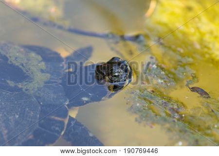 A beautiful Aquatic turtle swimming on a pond