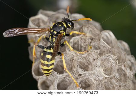 A beautiful common wasp in its neast