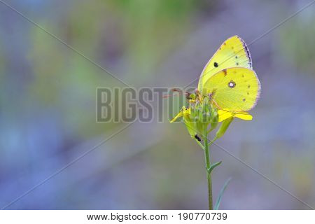Cloudless Sulphur butterfly (Phoebis sennae) on yellow flower
