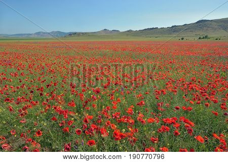 colorful poppy flowers on field in summer time