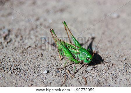 Grasshopper on sand, green grasshopper detail, makro