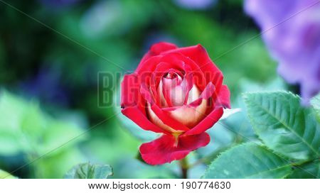 Roses of different colors and varieties, growing in the flowerbed of the city park. These flowers are filled with divine fragrance and magical shades of red, white, yellow, purple and variegated colors all the surrounding space of the place .