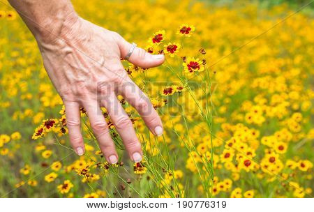 Horizontal photo of the back of a mature caucasian woman's hand brushing bright yellow and red wildflowers in a field of the same wildflowers