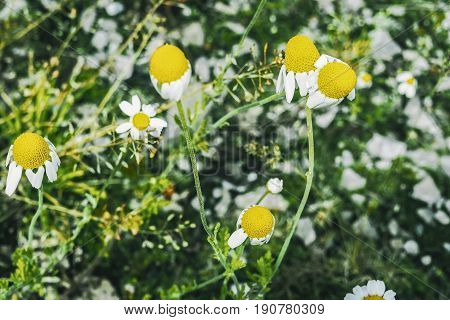 Heads of daisies. Summer flowers. Yellow flowers. Chamomile. Spring field. Summer Flowers