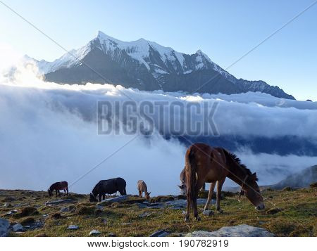 Morning under Nilgiri mountain - horses in pasture - Annapurna Circuit Trek in Nepal
