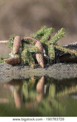 Pine cones with reflections in nature water