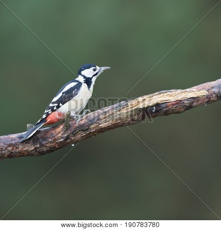 Female great spotted woodpecker on branch