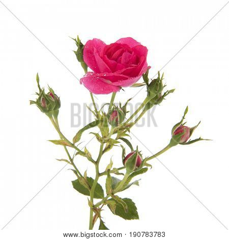 Fresh pink rose with many buds isolated over white background
