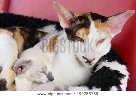 Modern turtle pure breed Siamese cat with kitten in basket