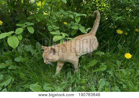 Red cat walking outside in the bushes