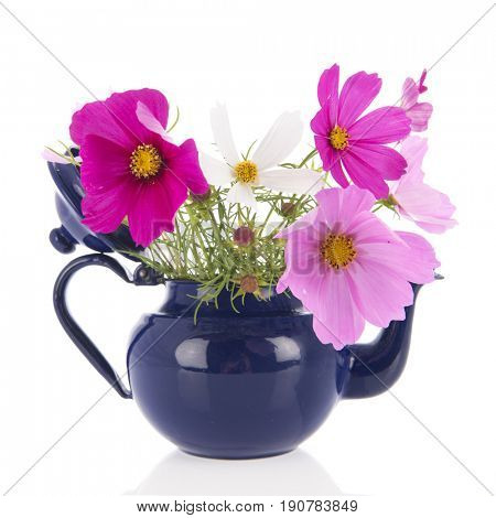 Bouquet pink Cosmos flowers from the garden in blue teapot isolated over white background