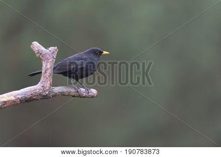 Common blackbird sitting on branch in forest