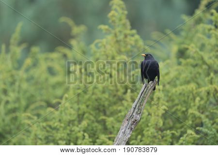 Common blackbird on tree trunk in the forest