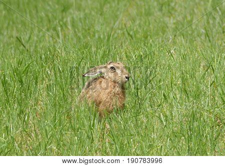 wild hare on the meadow lepus europaeus