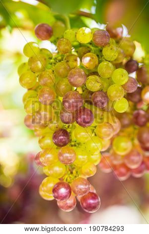 Red grapes on the wineyard with light Wine grapes