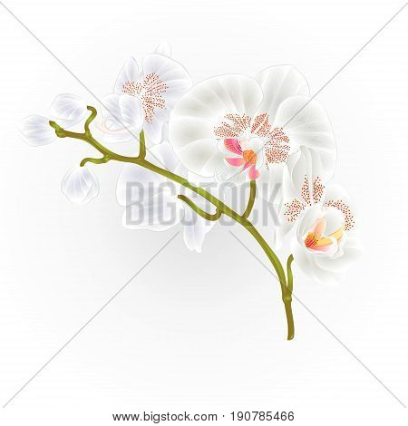 Branches orchid Phalaenopsis White flowers tropical plants green stem and buds vintage hand draw vector botanical illustration for design
