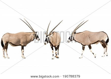Set of three gemsbok in different posing isolated on white background, seen at namibia, africa