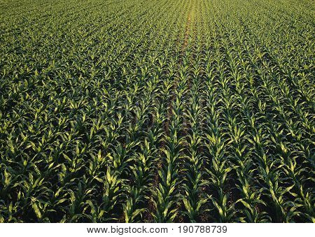 Corn field from drone point of view cultivated maize crops