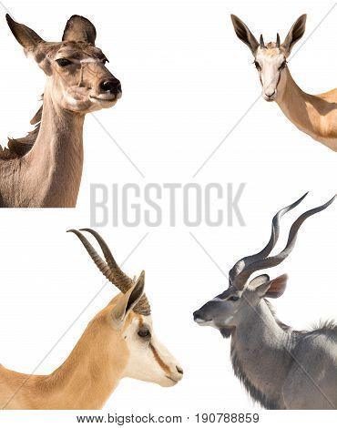Set of four headshots of different antelopes - kudu, springbok, impala - isolated on white background