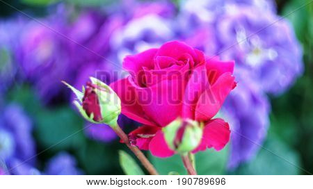 Roses of different colors and varieties, growing in the flowerbed of the city park. These flowers are filled with divine fragrance and magical shades of red, white, yellow, purple and variegated colors all the surrounding space of the place