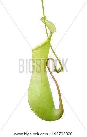 Pitcher plant nepenthes a vine and carnivorous tropical plant isolate on white background