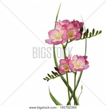 Flower Freesia with buttons and leaves herbs beautiful bouquet composition vector color fine illustration of elegant element isolated white background. Vertical side view. Background pattern design
