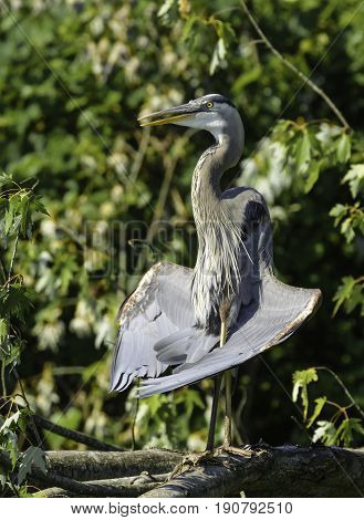 A Great Blue Heron (Ardea Herodias) sits facing the sun, holding it's wings open to the sun, on a branch in York County Pennsylvania, USA.in an
