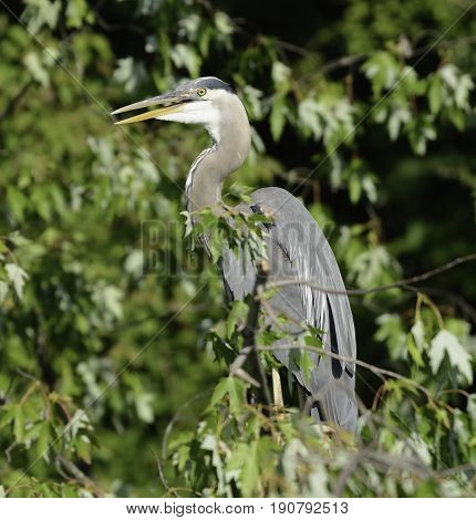 A Great Blue Heron (Ardea Herodias) sits atop a tree branch, surrounded by green leave, facing left, in York County Pennsylvania, USA.