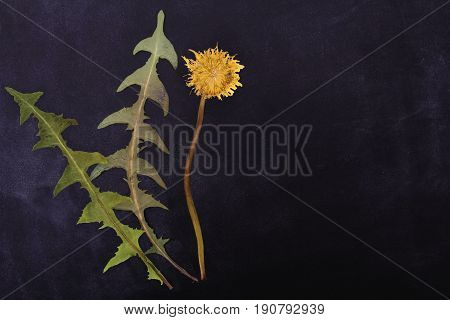 Pressed and dried flowers dandelion isolated on black board background. For use in scrapbooking floristry or herbarium.