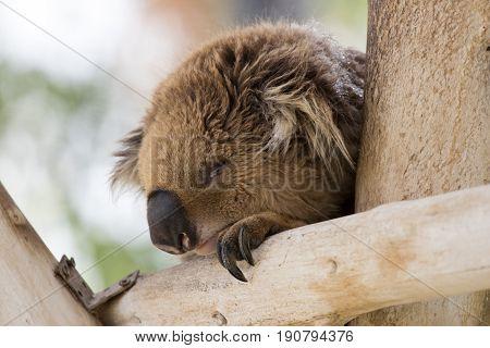 Koala Sleeps On Felled Trees In Gan Guru Kangaroo Park In Kibutz Nir David, Israel