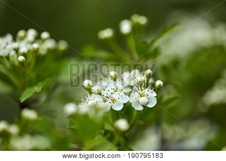 Hawthorn Bush In The Forest