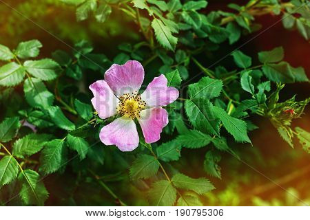 Fresh dog-rose flower surrounded by green leaves