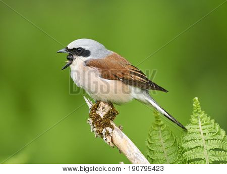 Red Backed Shrike Perched