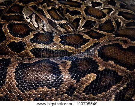 python royal , Python - leather - background , (Python regius)