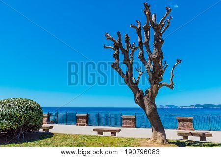 Trimmed tree in Alghero seafront. Sardinia Italy