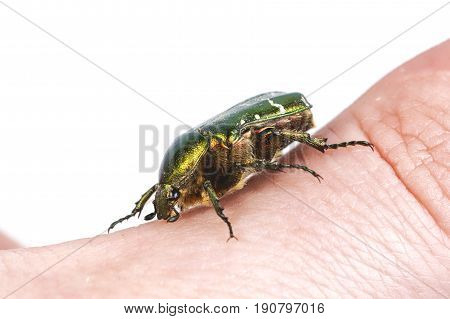 Rose Chafer (cetonia Aurata) On People Hand