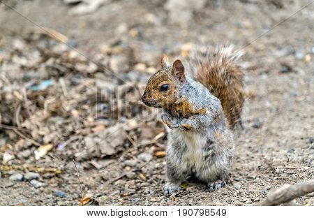 Eastern Gray Squirrel, Sciurus carolinensis in Montreal - Quebec, Canada