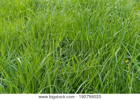 Tall lush green grass in mid spring