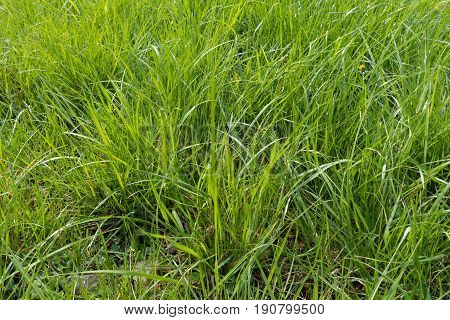 Vast Field Of Natural Tall Green Grass