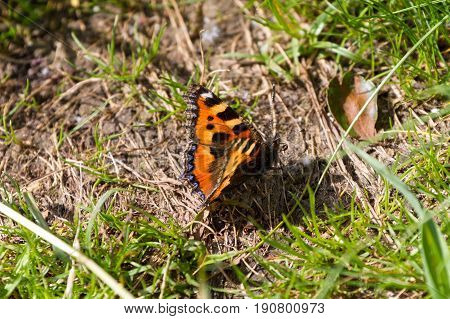 Small Tortoiseshell Butterfly resting on the ground in a grassy field