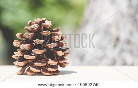 Cone Of Stone Pine In Nature Pinus Pinea