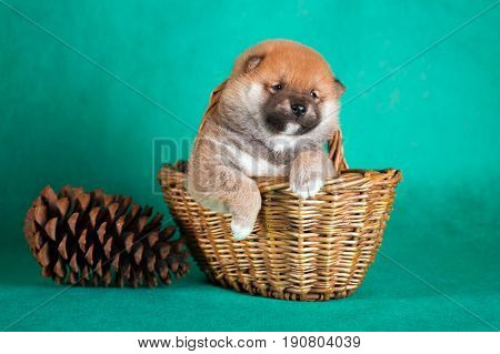 Shiba Inu Puppy In A Basket On Green Background. Studio Shot