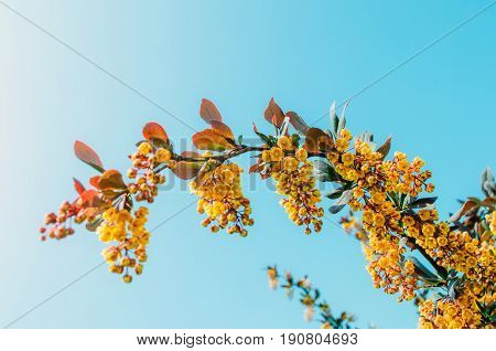 Branches Of Barberry Bush Close Up Against A Blue Sky Background.
