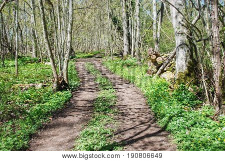 Winding dirt road through a deciduous forest by spring season